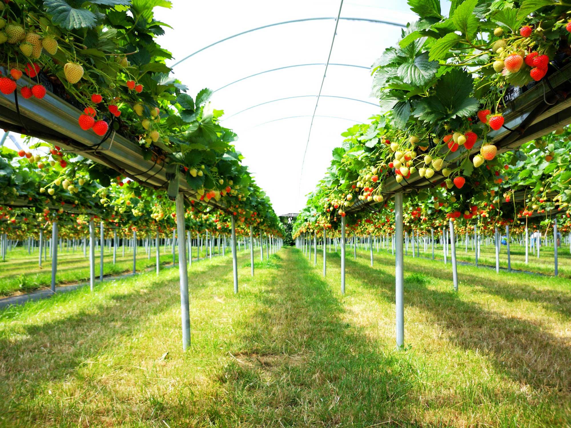 How to grow indoor strawberries