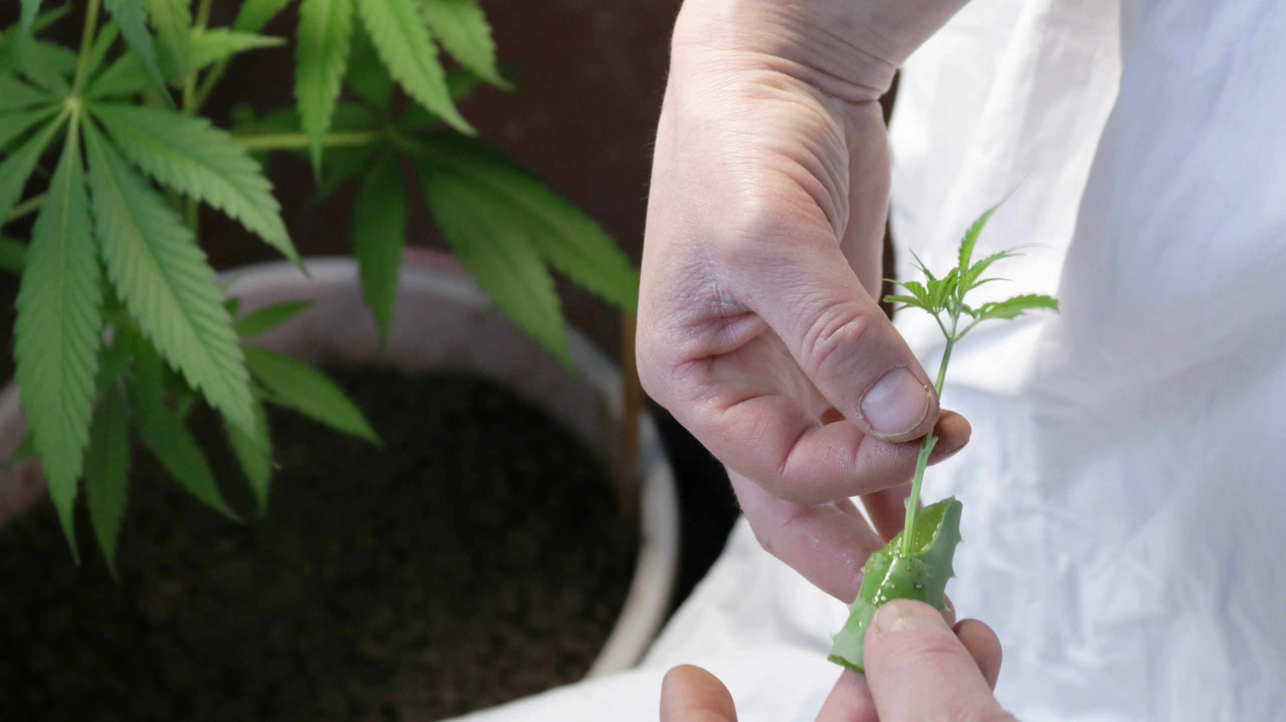 Medicinal cannabis: CEA's golden egg?