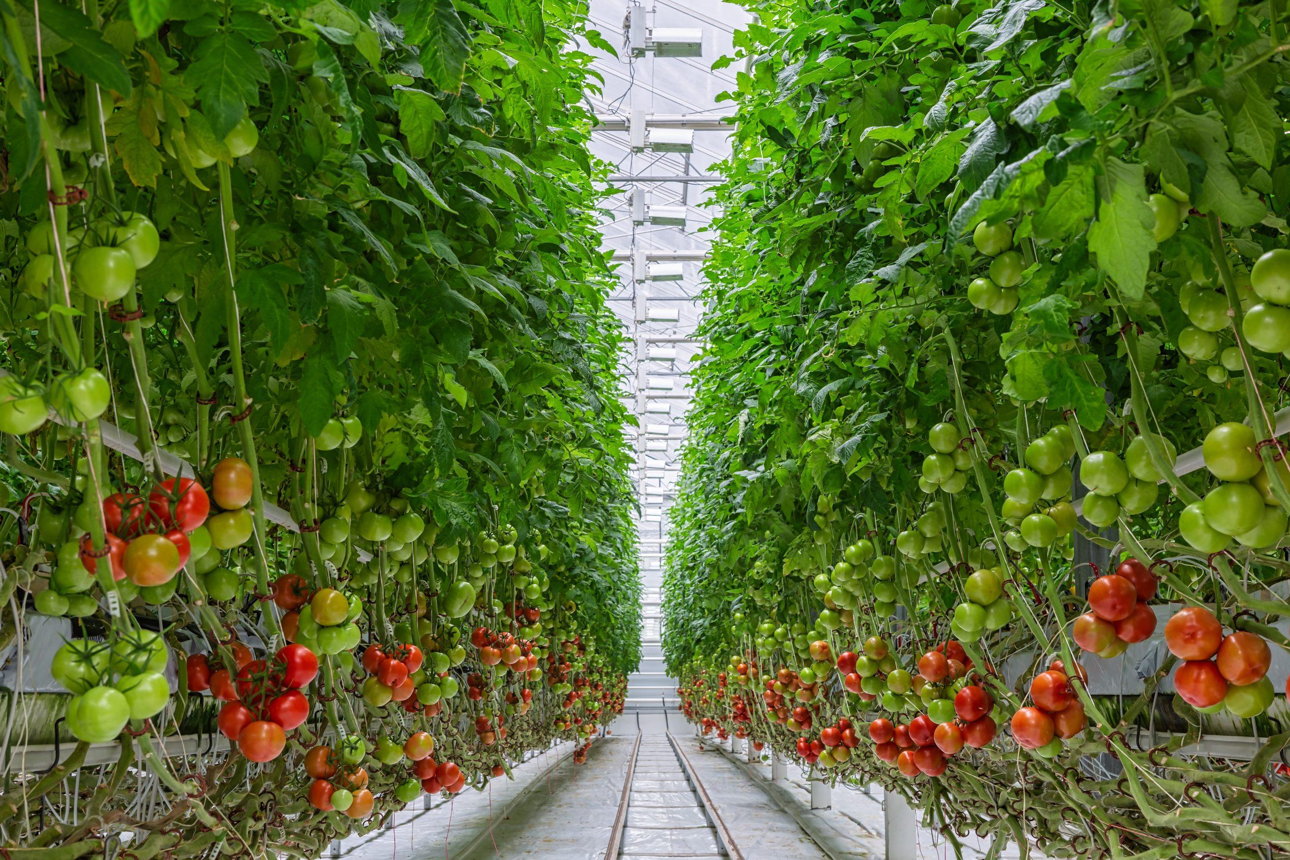 How LED grow lights helptomatogrowinginvertical farming